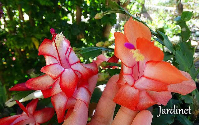 Flore-de-maio vermelha e laranja