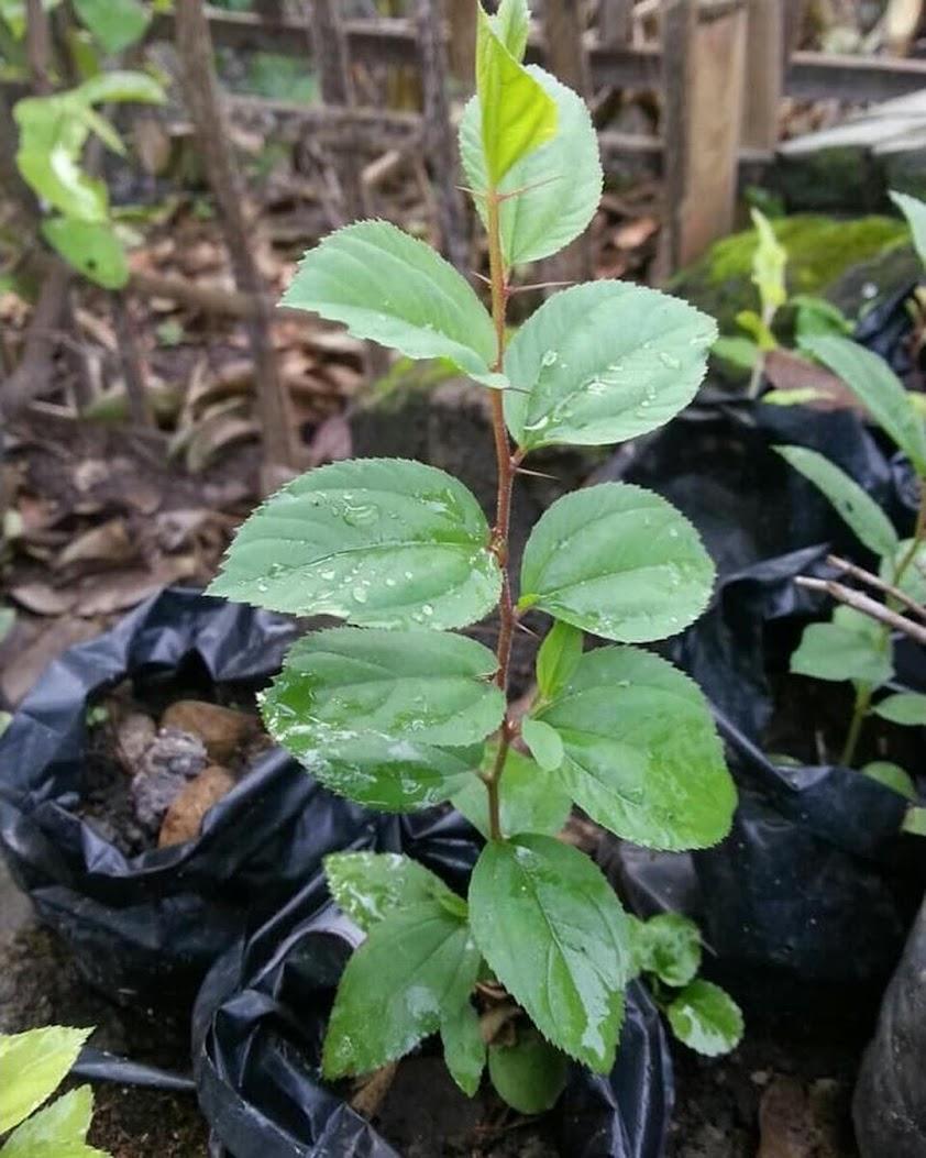 BIDARA ARAB tinggi 30 40cm gratis ongkir dapat 2 pohon Sumatra Utara