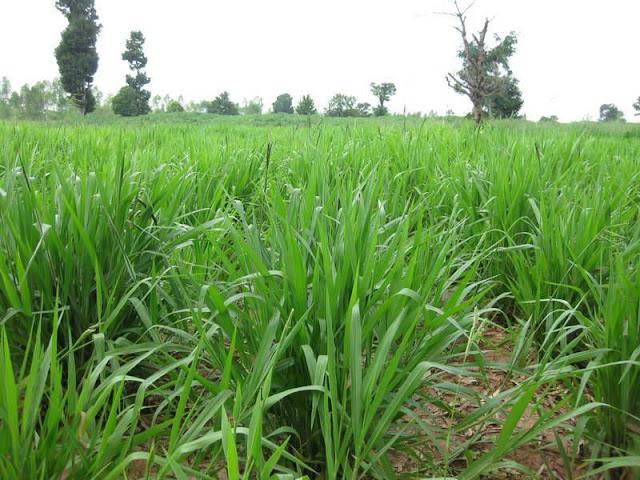 Địa chỉ bán hạt giống cỏ mulato 2 uy tín nhất