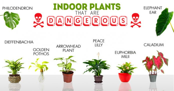 11 toxic houseplants that are dangerous for your children and your pets organic and healthy - Good household plants ...