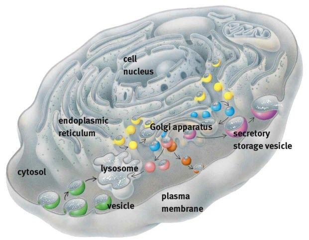 Gambar 3. Lisosom, Retikulum Endoplasma, dan Aparatus Golgi