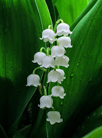 Lily of the Valley flower against dark green leaves,