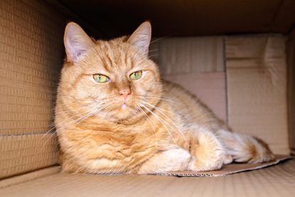 a ginger cat sat in a cardboard box