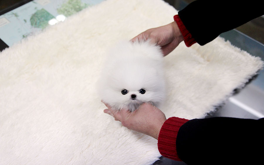 TEACUP PUPPY: ★Teacup puppy for sale★ White teacup ...