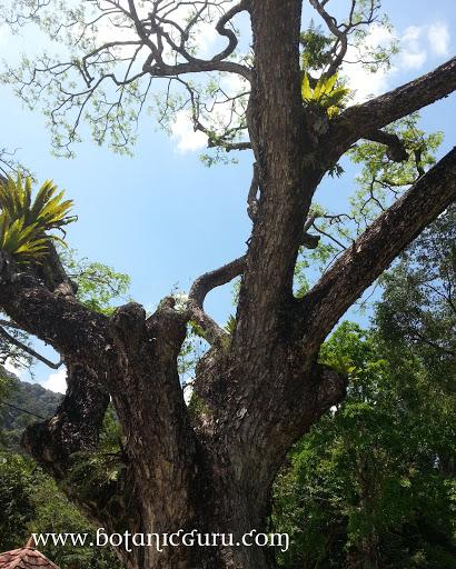 Samanea saman, Rain Tree trunk