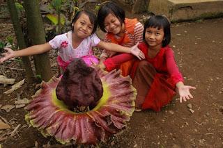 contoh bunga bangkai (Amorphophallus titanum)