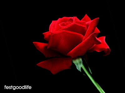 rose flower images wallpapers free download
