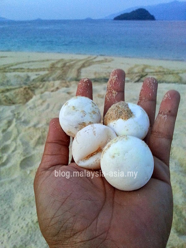 Photo of Green Turtle Eggs