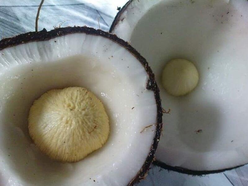 Tumbung Kelapa
