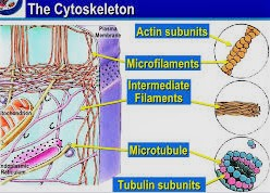 Cytoskeleton Microtubules, Microfilaments and Intermediate Filaments.