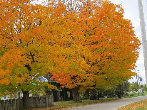 orange maple trees