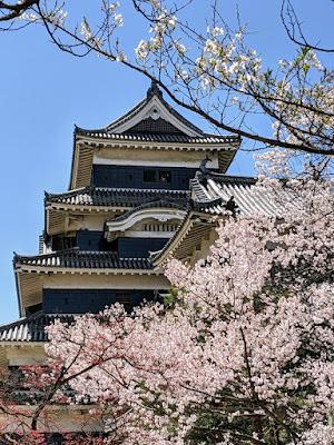 Springtime in Japan: Sakura at peak bloom outside Matsumoto Castle