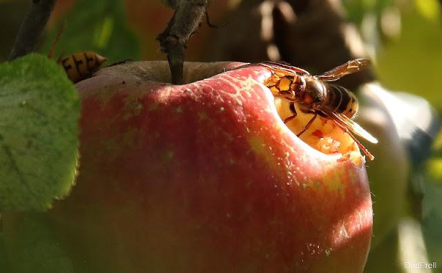 Guêpe mangeant une pomme