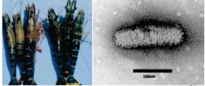 Penyakit Virus Pada Ikan : Yellow Head Virus (YHV)