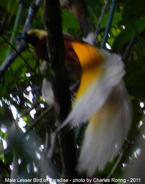 Male Lesser Birds of Paradise (Paradisaea minor)  in Arfak mountains