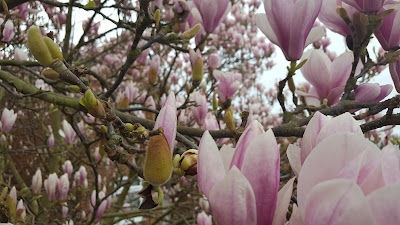 Magnolia × soulangeana flowers