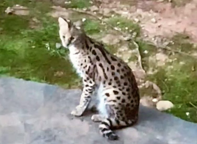 Nala an escaped pet serval who has been confiscated as they are illegal in Georgia