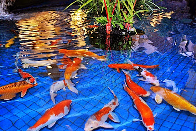 Lama Ikan Koi Tumbuh Besar