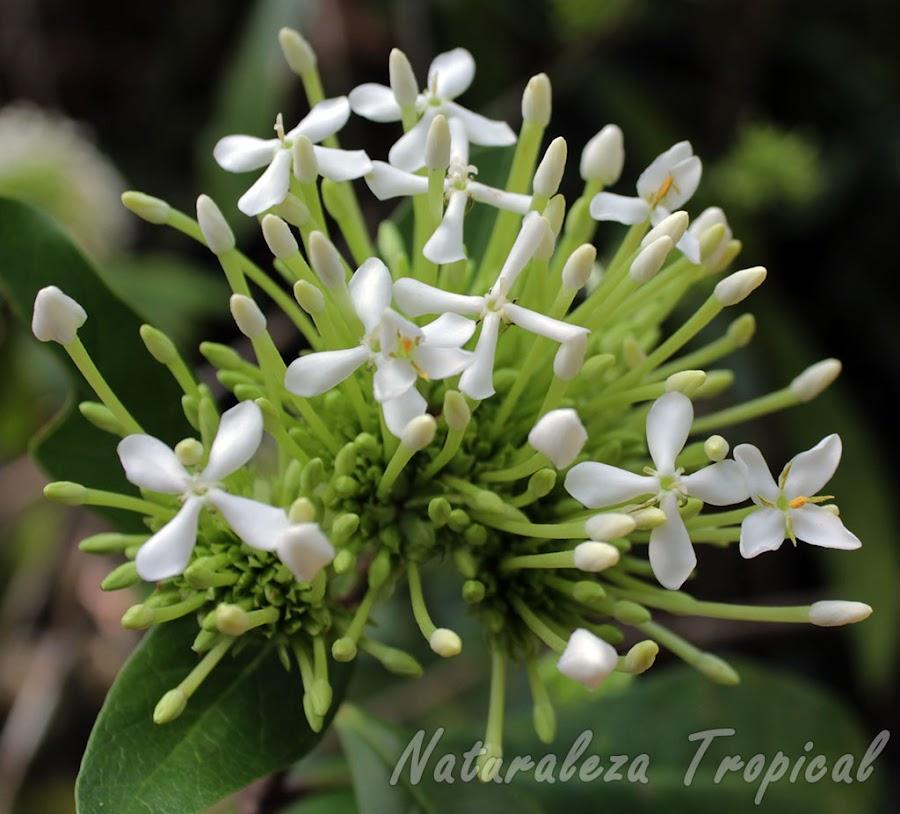 Inflorescencia en desarrollo de la planta Corona de Novia o Ixora Blanca, Ixora finlaysoniana