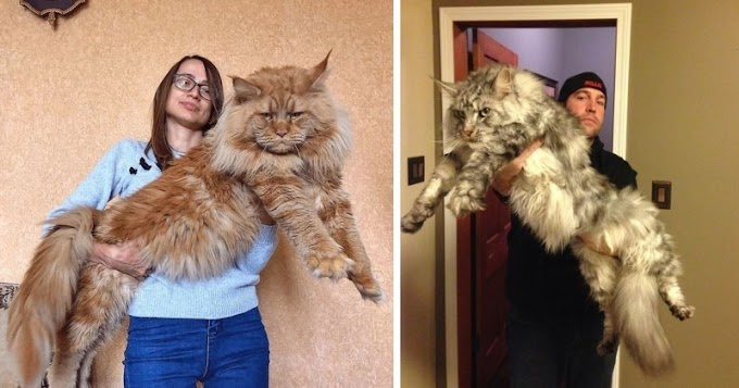 12 Photos of Big and Beautiful Maine Coon Cats