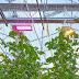 Tomatenkwekerij Bryte schaft LED-verlichting aan