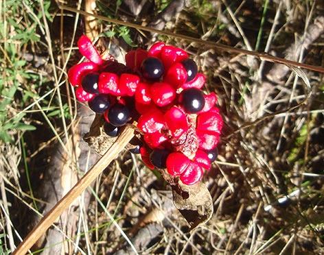 Peonía silvestre (Paeonia broteroi)
