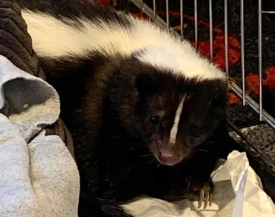 Image of escaped Welham Green skunk courtesy of owner Hannah Dee