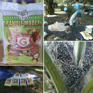 agar tanaman kelapa sawit berbuah lebat