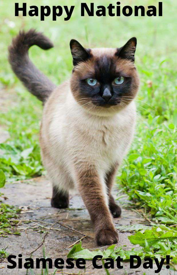 National Siamese Cat Day Wishes