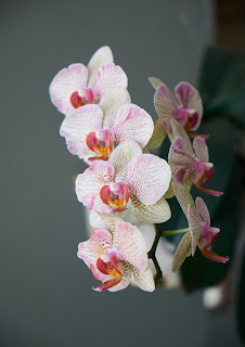 Orchid mantis Fun Facts