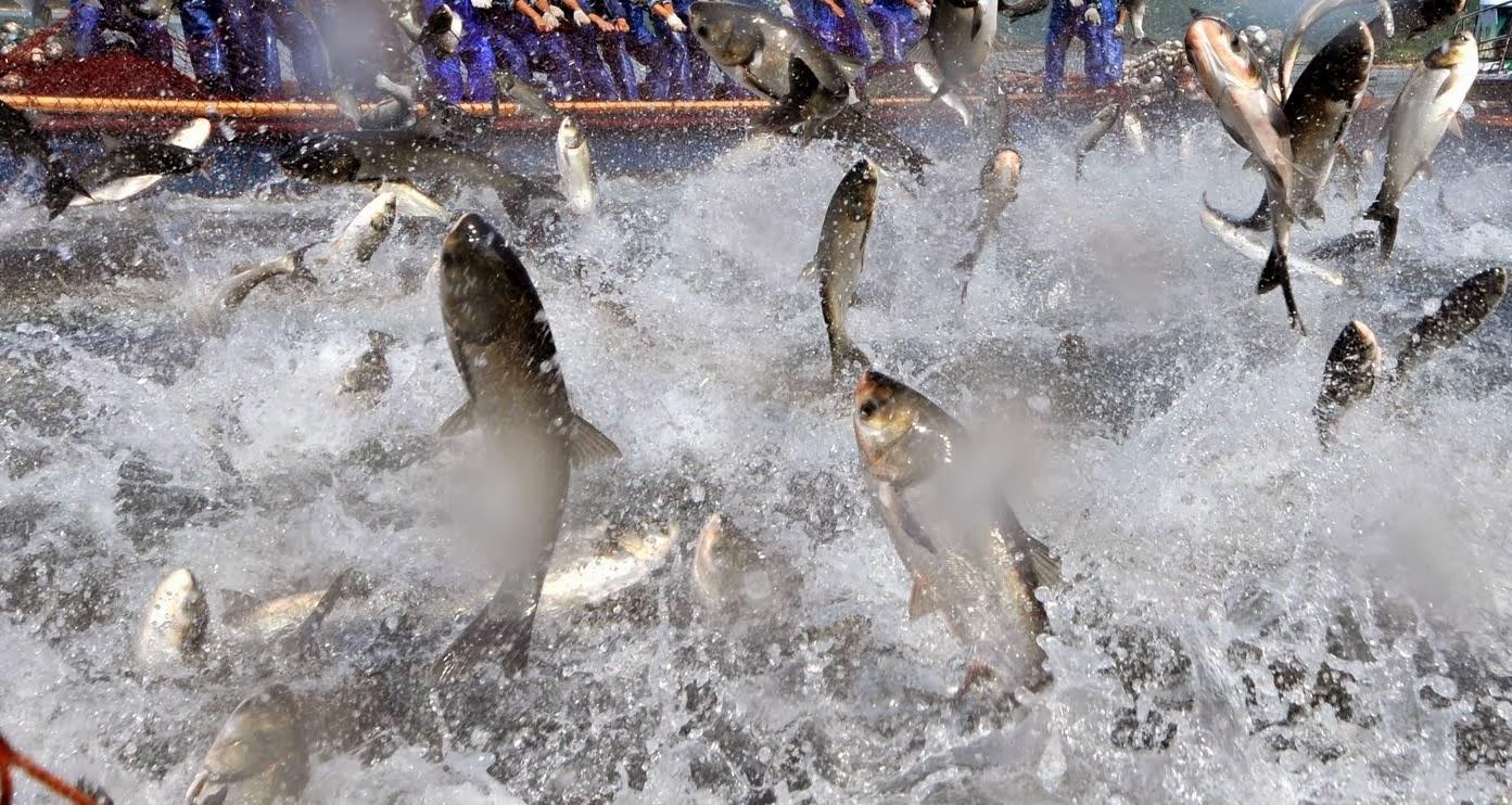 Asesor a trucha y tilapia cria de mojarra tilapia y for Productos para estanques de peces