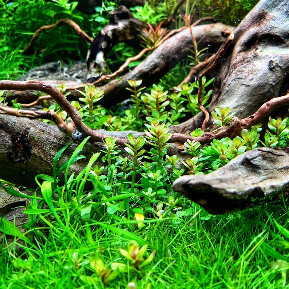 Cây thủy sinh Vẩy ốc Ấn Độ trong hồ của Tono Dreben