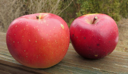 Two crimson blushed apples, one with an orange tint, with large irregular brown lenticels