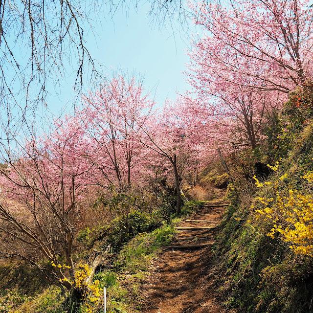 花咲く里山 大雄紅桜