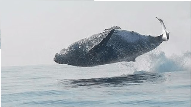 40-Ton Whale Was Filmed Jumping Completely Out Of The Water
