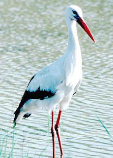 طير مهاجر كبير له ارجل طويلة
