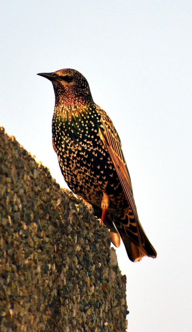 Picture of a starling bird.