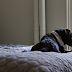 Training Your Dog to remain Off the Bed