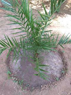 cara menanam kurma dan budidaya sendiri di rumah