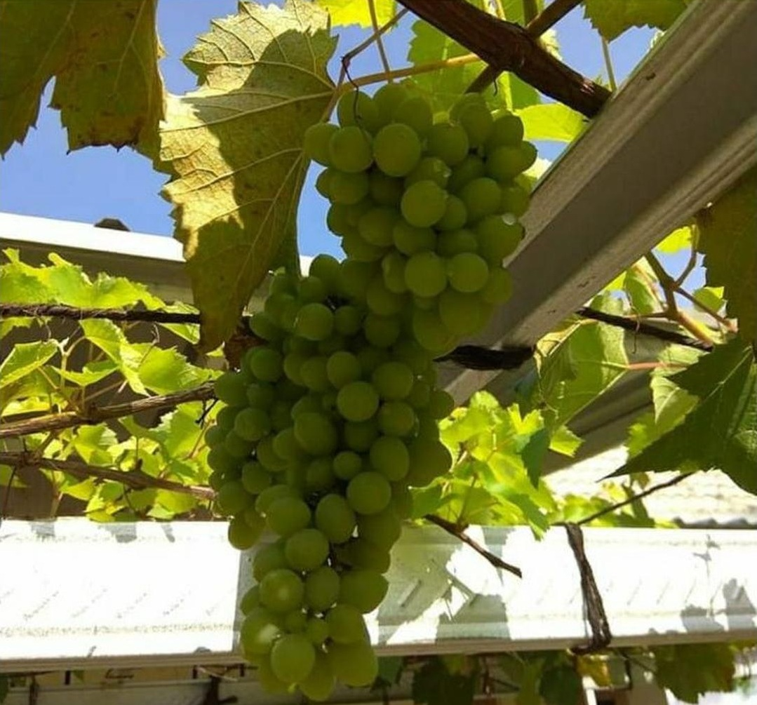 Obral! Bibit Tanaman Buah Anggur Import Rizamat Bibut Anggur Impor Murah Asli Grafting Kota Surabaya #bibit buah genjah termurah