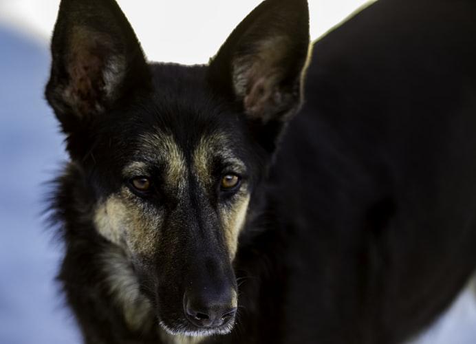Anjing Herder Ciri Perilaku Dan Cara Merawatnya
