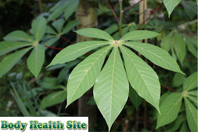 Benefits of Cassava Leaves and Recipes