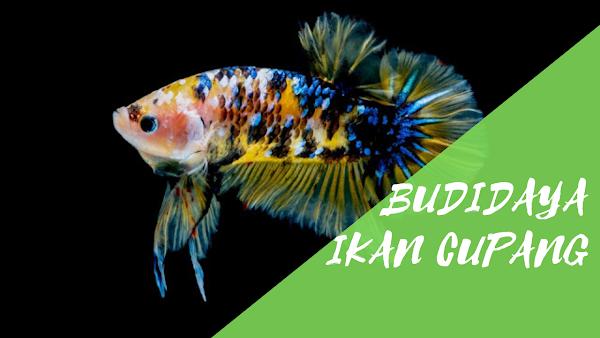Perawatan Dalam Budidaya Ikan Cupang