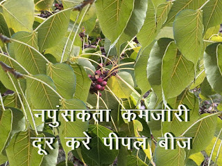 नपुंसकता मिटाये बहुमूल्य पीपल बीज Napunsakta Dur Kare Peepal Tree in Hindi