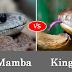 Animal Fight Video- King Cobra vs Black Mamba Facts