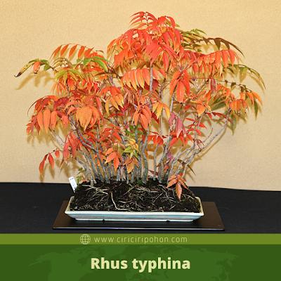 Rhus typhina