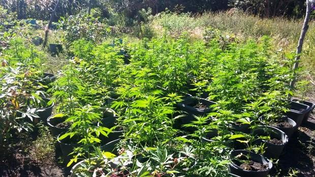 Ibicoara: Polícia Civil descobre mais uma grande plantação de Maconha