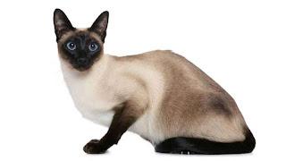 kucing siam gambar dan harga populer
