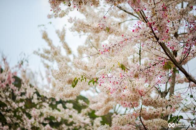 花旗木的英文很美,翻做「Pink Shower Tree」