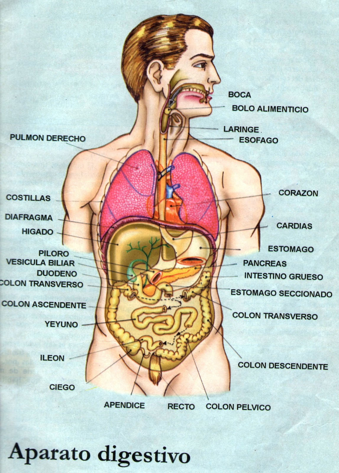 Aparato Respiratorio Sin Nombres Sistema Respiratorio Septiembre 2013
